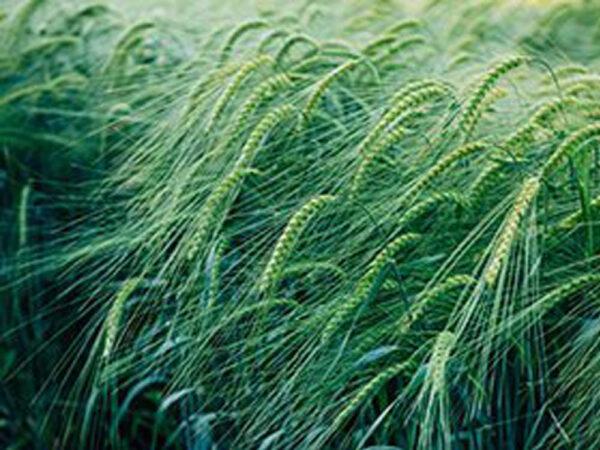 Семена озимого ячменя Казанова