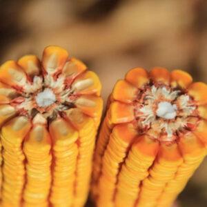 [:ru]Семена кукурузы Керберос[:ua]Насіння кукурудзи Керберос[:]