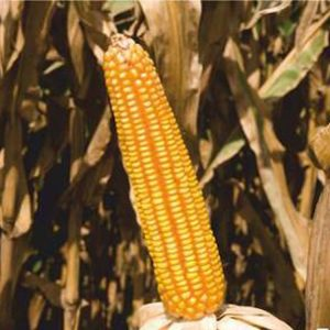 [:ru]Семена кукурузы Колиас [:ua]Насіння кукурудзи Коліас[:]