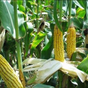 [:ru]Семена кукурузы Колибрис[:ua]Насіння кукурудзи Колібріс [:]