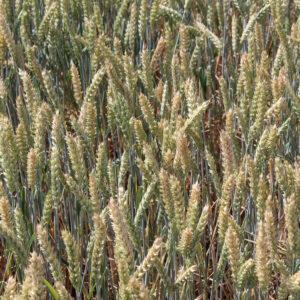 Семена озимой пшеницы Коллада