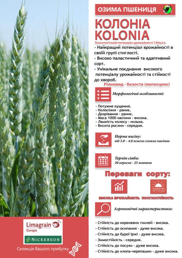 Семена озимой пшеницы Колониа