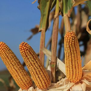 [:ru]Семена кукурузы Командос [:ua]Насіння кукурудзи Командос[:]