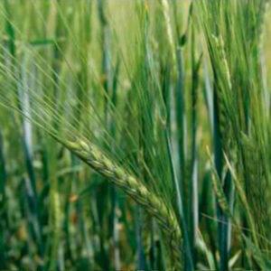 Семена ярого ячменя Консерто