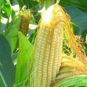 [:ru]Семена кукурузы Кребс[:ua]Насіння кукурудзи Кребс[:]