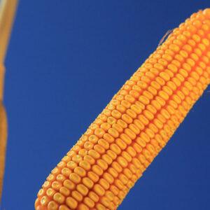 Семена кукурузы КВС 2323