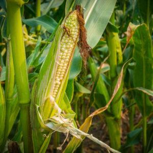 [:ru]Семена кукурузы КВС 381 [:ua]Насіння кукурудзи КВС 381 [:]