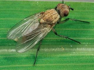 Цибулева муха