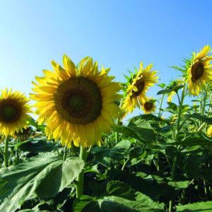 [:ru]Семена подсолнечника Люция[:ua]Насіння соняшника Люція[:]