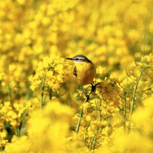 Семена озимого рапса Марстрип