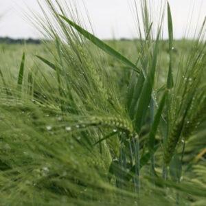 Семена ярого ячменя Натасия