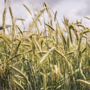 [:ru]Семена озимой ржи Палаццо[:ua]Насіння озимого жита Палаццо[:]