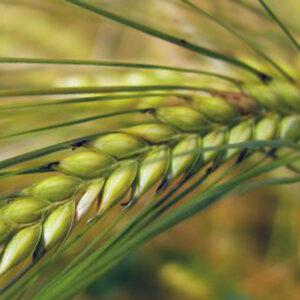 Семена озимого ячменя Пасо