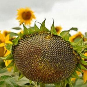 Семена подсолнечника Пунтасол