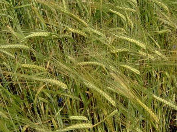 Семена ржи Синтетика