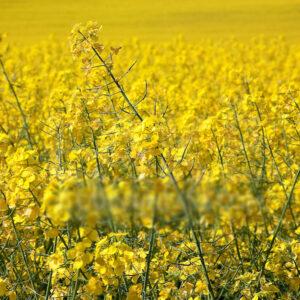 [:ru]Семена озимого рапса Триангель[:ua]Насіння озимого ріпаку Триангель [:]