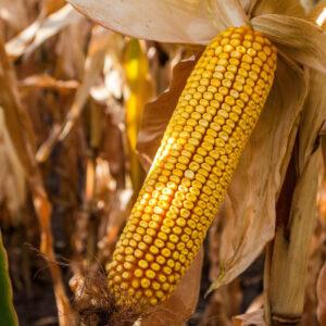 [:ru]Семена кукурузы Зуфавор[:ua]Насіння кукурудзи Зуфавор[:]