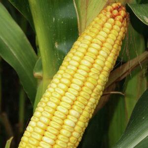 [:ru]Семена кукурузы Зузанн[:ua]Насіння кукурудзи Зузанн[:]