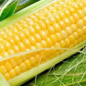 [:ru]Семена кукурузы СЛ Багато[:ua]Насіння кукурудзи СЛ Багато [:]