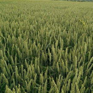 Семена озимой пшеницы Бонанза