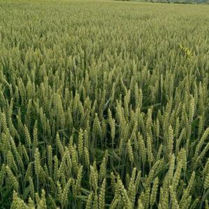 [:ru]Семена озимой пшеницы Бонанза[:ua]Насіння озимої пшениці  Бонанза[:]