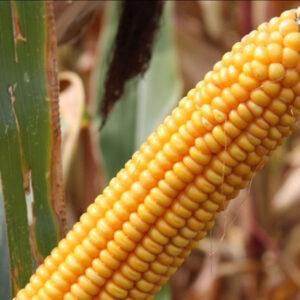 Семена кукурузы Цирано