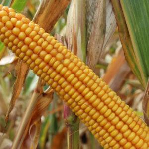 Семена кукурузы Данубио