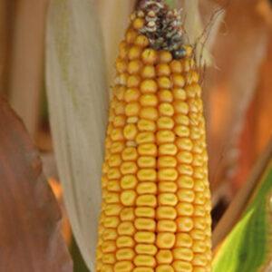 [:ru]Семена кукурузы Доброто[:ua]Насіння кукурудзи Доброто[:]