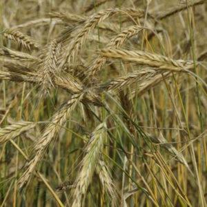 [:ru]Семена озимой ржи Драйв[:ua]Насіння озимого жита Драйв [:]