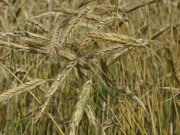 Семена озимой ржи Драйв