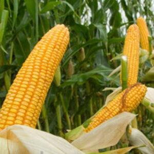 [:ru]Семена кукурузы Драва 404[:ua]Насіння кукурудзи Драва 404 [:]