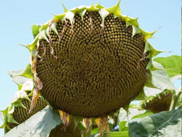 Семена подсолнечника Дрейк
