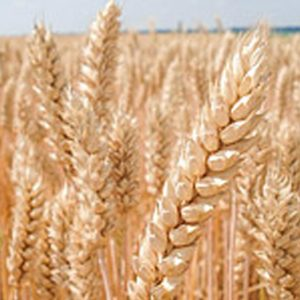 Семена яровой пшеницы Дуромакс
