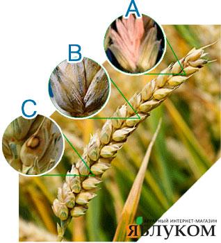 Грибные заболевания зерновых