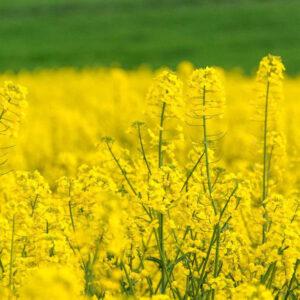 [:ru]Семена озимого рапса Герди[:ua]Насіння озимого ріпаку Герді[:]