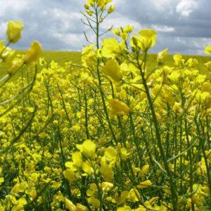 [:ru]Семена озимого рапса Гиколор[:ua]Насіння озимого ріпаку Гіколор[:]