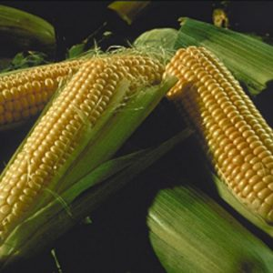 Семена кукурузы Гинко