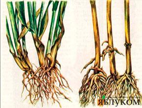 Корневые гнили пшеницы, как их предупредить