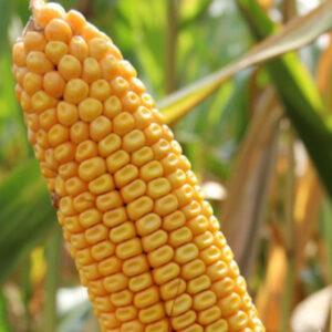 Семена кукурузы Грандио