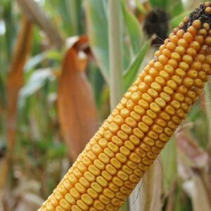 Семена кукурузы Гранито