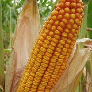Семена кукурузы Гримальди