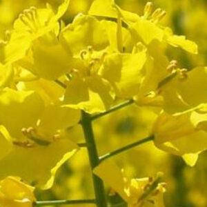 [:ru]Семена озимого рапса Харди[:ua]Насіння озимого ріпаку Харді[:]