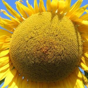 [:ru]Семена подсолнечника КС108[:ua]Насіння соняшника КС108[:]