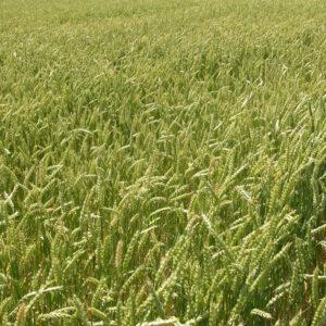 [:ru]Семена яровой пшеници Куинтус[:ua]Насіння ярої пшениці Куінтус[:]