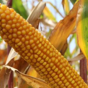 Семена кукурузы Лопино