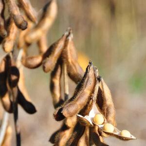 [:ru]Семена сои Малага[:ua]Насіння сої Малага[:]