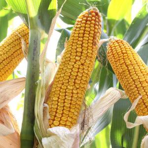 Семена кукурузы Маттео
