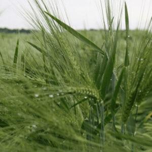 [:ru]Семена ярого ячменя Монтоя[:ua]Насіння ярого ячменю Монтоя[:]