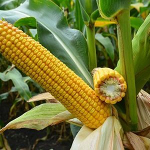 [:ru]Семена кукурузы Мованна[:ua]Насіння кукурудзи Мованна[:]