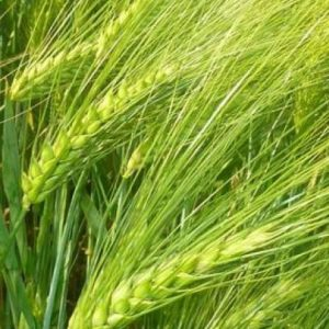 Семена озимого ячменя Наоми